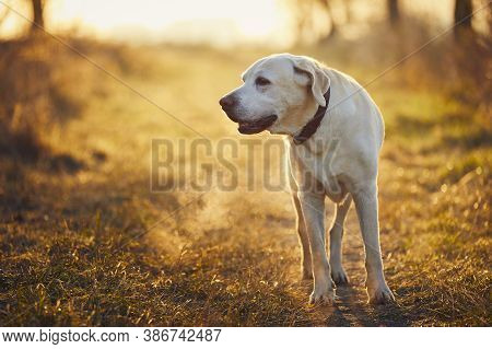 Old Dog During Cold Autumn Morning. Labrador Retriever Walking On Footpath.