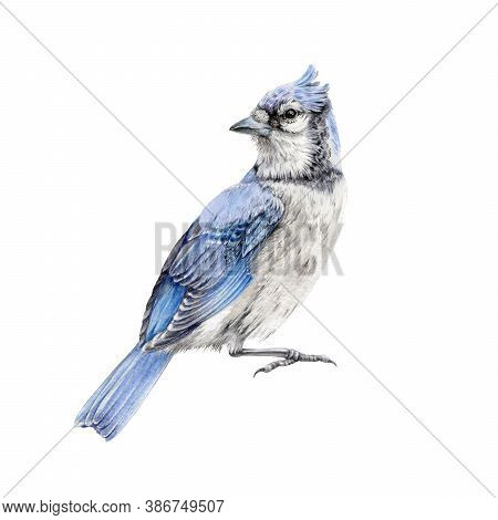 Blue Jay Bird Watercolor Illustration. Hand Drawn North America Wild Song Bird Cyanocitta Cristata.