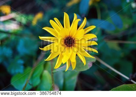 Top View Of Heliopsis Blossom In Autumn