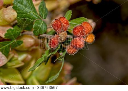 The Fruit Of The Fragrant Sumac Native To Arizona, Alson Known As The Skunk Bush. The Fruit Is Edibl