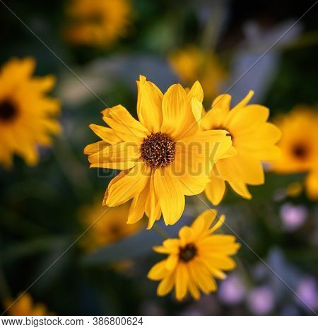 Heliopsis Bloosom - Genus Of Herbaceous Flowering Plants In The Sunflower Family, Native To Dry Prai