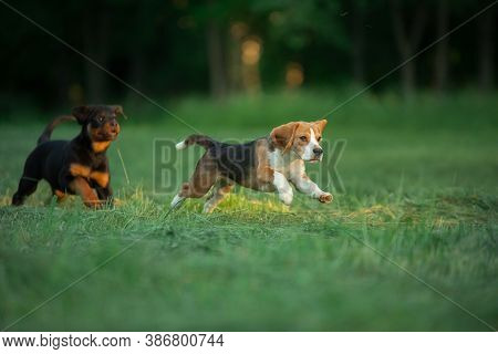 Two Puppies Are Playing On The Grass. Dogs Run In The Park. Rottweiler And Beagle On Nature
