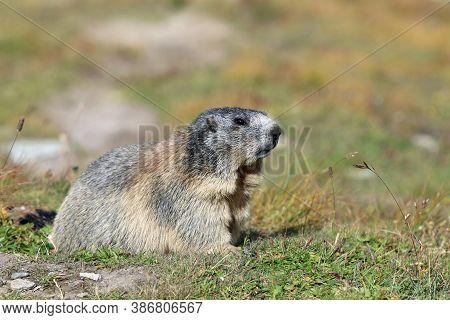 Alpine Marmot (marmota Marmota) At Swiss Alps. Switzerland. Europe