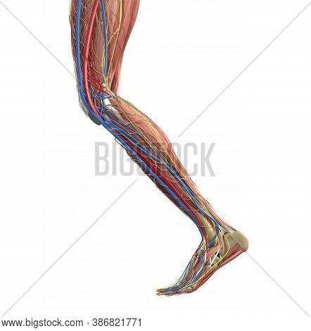 Leg Muscles. Human Leg Anatomy. Vector Medical Illustration Concept.