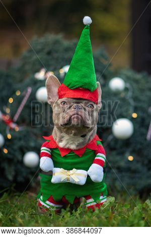 Funny Lilac Colored French Bulldog Dog Wearing A Traditional Cute Christmas Elf Costume With Arms Ho