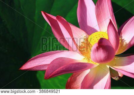 Lotus Flower Close-up,beautiful Pink Lotus Flower Blooming In The Pond In Summer