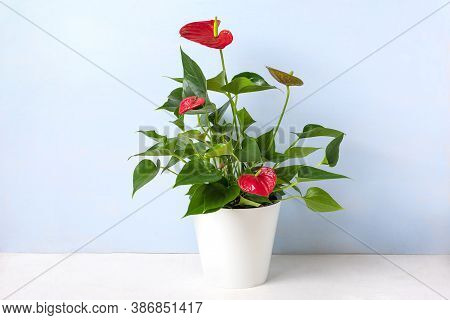 House Plant Anthurium In White Flowerpot Isolated On White Table And Blue Background Anthurium Is He