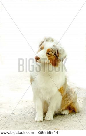 Young Dog Of The Breed Australian Shepherd Aussie Light With Red Markings On A Light Background Sits