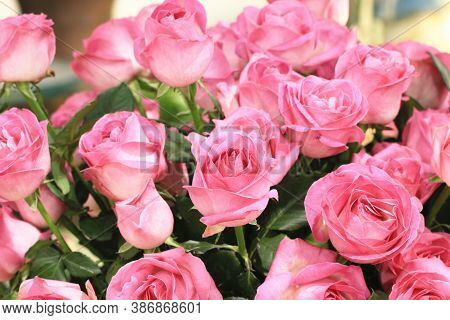 Blooming Romantic Fresh Pink Roses,beautiful Pink Roses In Full Bloom In The Garden