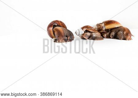Horizontal Photo Of A Family Of Snails Located On A White Background. Snail Farming Business. Free S