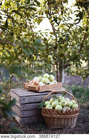 Basket  With Juicy Apples In The Garden