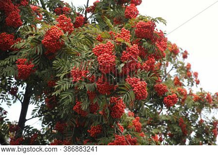 Rowan Tree With Rowan Berries. Close Up.