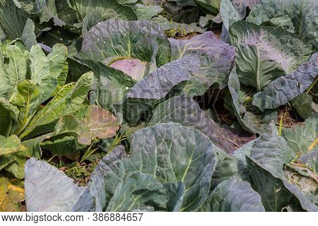 Close-up Of A Bed Of Cabbage With Blue And Green Leaves In A Vegetable Garden, Grown In Autumn Harve