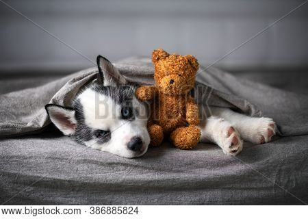 A small white dog puppy breed siberian husky with beautiful blue eyes lays on grey carpet with bear toy. Dogs and pet photography