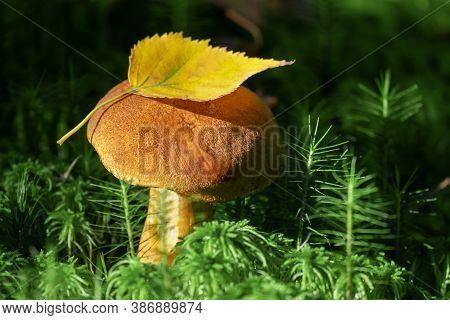Edible Orange-cap Mushroom Growing In Green Moss. Harvesting Edible Mushrooms In Forest.