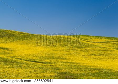 Blooming Yellow Canola Field With Deep Blue Sky In Summer, In Palouse, Washington, Usa