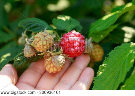 Big Beautiful Ripe Raspberries On A Branch Close Up
