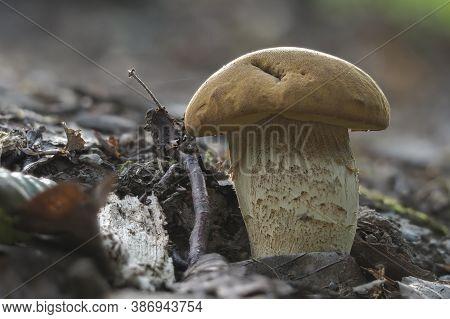 The Saffron Bolete (leccinellum Crocipodium) Is An Edible Mushroom