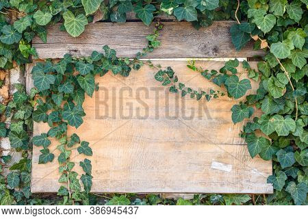 Beautiful Wooden Old Board In Ivy Thickets