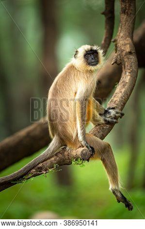 Gray Or Hanuman Langurs Or Indian Langur Or Monkey In Natural Green Background During Monsoon Season