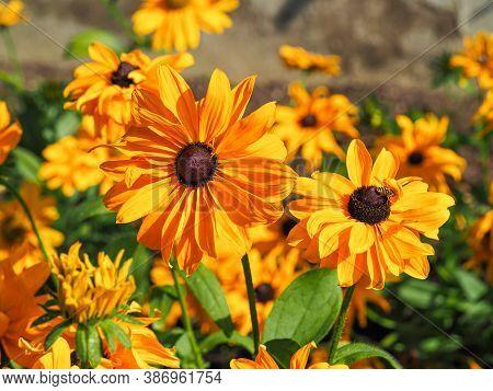 Bright Yellow Flowers Of Rudbeckia Hirta Goldilocks Catching Sunlight In A Garden