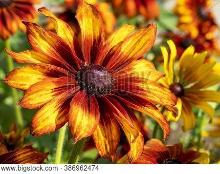 Beautiful Bright Orange And Yellow Flower Of Rudbeckia Hirta Cappucino In A Garden