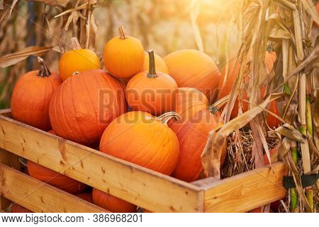 Orange halloween pumpkins on stack of hay or straw in sunny day, fall display