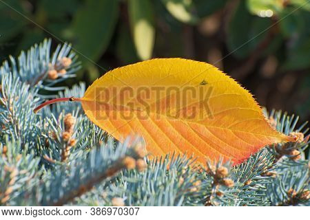 Lonely  Autumn Yellow - Orange Sacura Leaf Lies On The Green Spruce Branch Closeup On Blurred Floral