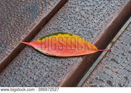 Lonely Sacura Autumn Red - Yellow Leaf Closeup On The Brown Wooden  Bench With A Lot Of Dew Drops