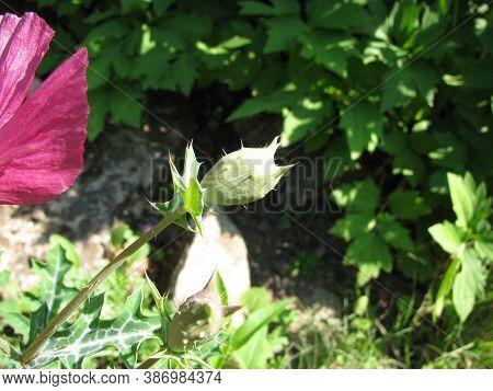 Blooming Argemone Sanguinea (red Prickly Poppie) In A Garden