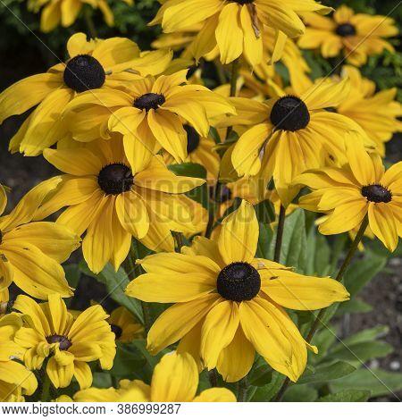 Bright Yellow Rudbeckia Hirta Coneflowers, Variety Viviani, In A Garden