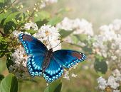 Red Spotted Purple Admiral butterfly feeding on white Crape myrtle flower cluster poster