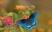 Beautiful Red Spotted Purple Admiral butterfly on colorful Lantana flower in sunshine poster