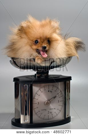 Miniature Spitz At The Weigh