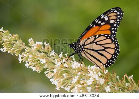 Monarch butterfly feeding on a white cluster of flowers poster