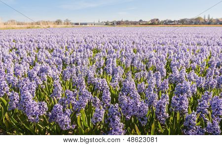Lilac flowering hyacinths at a bulbs field of a Dutch nursery. poster