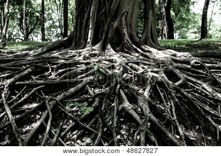Closed Up Big Tree Roots Show Nature Concept