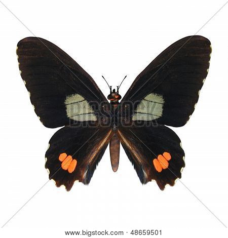 Red-spotted Swallowtail