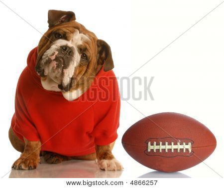 Bulldog In Red Sweater With Football