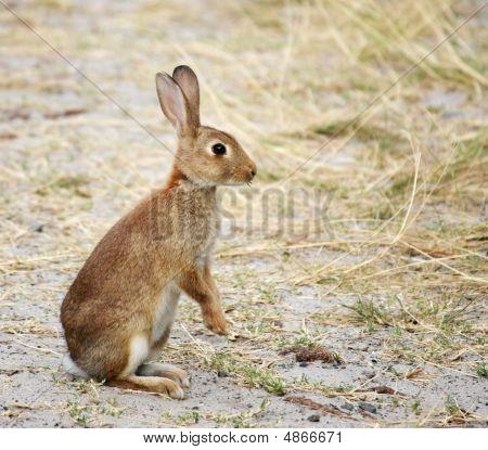 Wild Rabbit At The Beach, Alert To Danger.