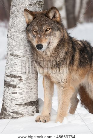 Grey Wolf (Canis lupus) by Birch Tree - captiv animal poster