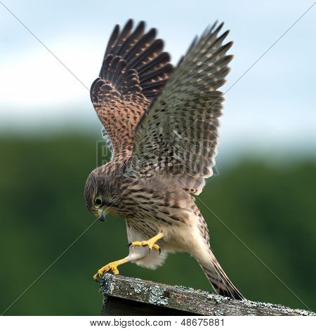 The beautiful juvenile kestrel (Falco tinnunculus) shows how she captured the mouse in Uppland Sweden poster