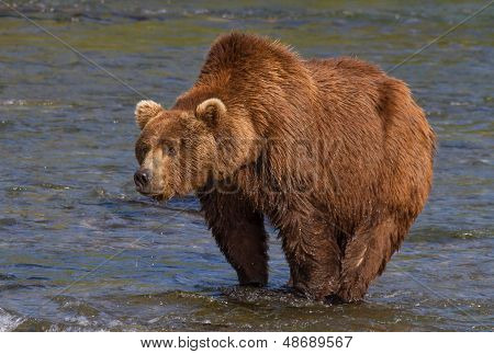 Big Brown Bear With A Pronounced Hump