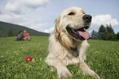 Closeup of golden retriever relaxing on grass with middle aged couple in background poster