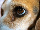 a closeup of a beagle's face - molly. poster
