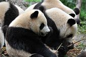 Hungry giant panda bear eating bamboo shoots poster