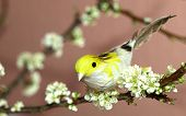 Sparrow on a blooming plum tree branch poster