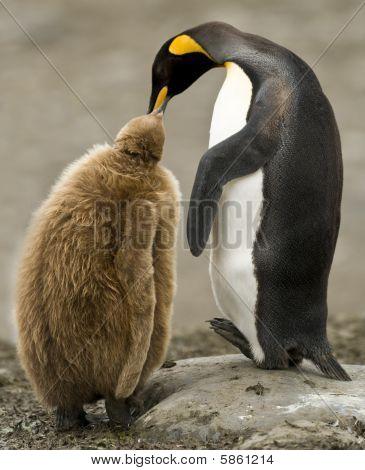 König Pinguin Erwachsener Fütterung downy chick