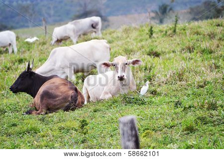 Cows relaxing