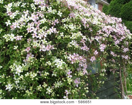 SHED CLEMATIS